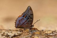 Charaxes protoclea (Hiro Takenouchi) Tags: charaxes charaxini charaxinae nature nymphalidae nymphalid insect africa ghana wildlife butterflies butterfly schmetterling papillon