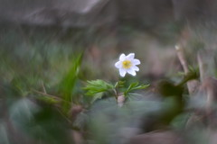 Anemone des bois DSC_6862 (David Frimin) Tags: helios44m bokeh nikond610