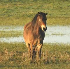 Exmoor Pony - Sleeping Standing Up - Druridge (Gilli8888) Tags: northeast northumberland wetlands countryside druridge druridgeponds nikon p900 coolpix water pony exmoorpony horse equine sleeping nature