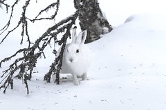 Mountain Hare (A blond-Tess) Tags: wildlifephotography wildlife mountainhare hare skogshare fauna wintercoat winter naturallight naturalmonochrome snowcover canonphotography outdoorphotography outdoors naturephotography nature