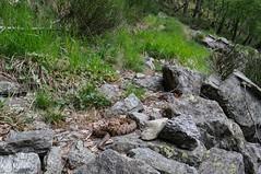 Vipera aspis francisciredi (aspisatra) Tags: vipera aspis francisciredi redi viper vipère aspide aspic snake serpent serpente