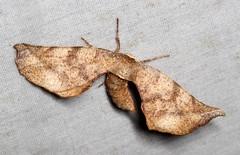 Parepisparis excusata (Victor W. Fazio III) Tags: inaturalist moths australia manningriver tinonee lepidoptera parepisparisexcusata geometridae