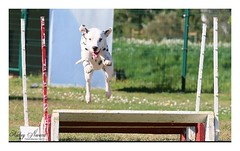 Album Chiens Clients Janvier-Avril 2018 (16) (Dalmatien-Golden-Braque) Tags: dalmatien goldenretriever braquedeweimar chien carcassonne elevage eleveur animaux dog breader