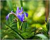 Wild Iris (Iris virginica) DSC_8725 (blindhogmike) Tags: wild iris hilton head island sc south carolina