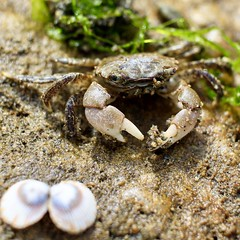Crab life (briannalhendricks) Tags: canonrebelt6 canonrebel canon pnw saltwater seaweed shells seafood crab