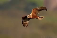 Marsh Harrier 104617 (wildlifetog) Tags: mbiow martin marsh harrier blackmore britishisles britain bird birds british brading isleofwight uk wild wildlife wings nature canon england european eos7dmkii inflight flying flight