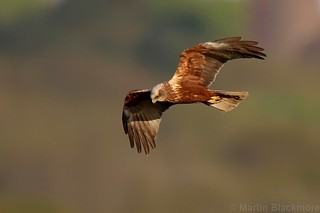Marsh Harrier 104617