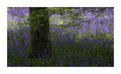 Bluebells In Light And Shade (Sandra Draper) Tags: bluebells woodland rufford blue d7100