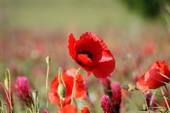 Rouge... (05/2018) (gerardcarron) Tags: canon80d challesleseaux fleurs flowers flore matin morning nature printemps spring savoie