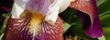 purple and white iris, cropped showing beard (Martin LaBar (going on hiatus)) Tags: southcarolina pickenscounty iris iridaceae irisdomestica lirio flower beard