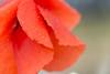 Robe mouillée... (Gisou68Fr) Tags: coquelicot poppy rain drops pluie gouttes gouttelettes rouge red canoneos650d ef100mmf28lmacroisusm