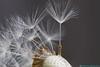 Paardebloem (Dandelion  Blowball)-3 (Rudaki1959) Tags: macro macromondays white closeup close nature earthnaturelife fauna flower flowers explore outdoors outdoor plants drops garden voorjaar light natuurmonumenten netherlands natural natur natuur