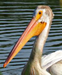 American White Pelican (Colorado Sands) Tags: pelican aquatic bird wildlife colorado whitepelican sandraleidholdt usa lakewood kendricklake americanwhitepelican pelecanuserythrorhynchos waterfowl beak