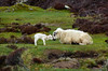 Cuddle time Scotland (ichauvel) Tags: mouton brebis lamb agneau bébé baby animaux mammiphères animals tendresse tenderness cuddle bisou kiss amour love écosse scotland royaumeuni unitedkingdom europe westerneurope voyage travel prairie herbe grass iledeskye isleofskye jour day exterieur outside