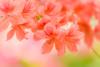 Azalea (J_Fish) Tags: japan tochigi garden flower azalea colorful soft pastel a7iii bokeh