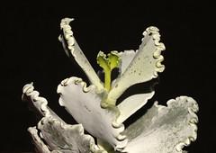 Silver ruffles (Cotyledon undulata) (shadowshador) Tags: silver ruffles cotyledon undulata neomura eukaryota archaeplastida plantae plant plants tracheobionta spermatophyta magnoliophyta magnoliopsida saxifragales crassulaceae taxonomy scientific classification biology botany wildlife life