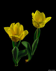 Tulips (Ken Mickel) Tags: beautiful colors floral flower flowers flowersplants flowersonblack kenmickelphotography plants tulip yellow blackbackground botanical closeup flora nature photography upclose