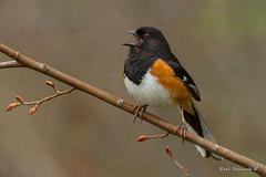 Eastern Towhee. (Earl Reinink) Tags: bird wildlife nature photography animal woods trees branch spring outdoors earl reinink earlreinink towhee easterntowhee zohauaodza