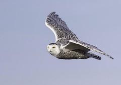 Snowy Owl (nathandubrow) Tags: owl snowyowl