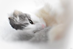 """""""Time spent with cats is never wasted"""" - Sigmund Freud (Nina_Ali) Tags: catportraits cat feline whitebackground pet softfocus"""