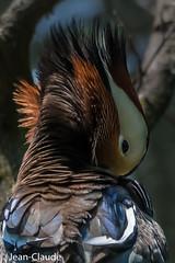 Aix galericulata ♂ - Mandarin Duck (bollejeanclaude) Tags: palmipèdes canards oiseaux photos nature birds vogels tervuren bruxelles belgique be mandarin canard nikoniste nikond750