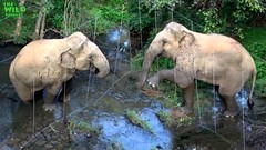 Scary massive elephant destroys an electric fence (THE WILD ELEPHANT) Tags: huge elephant rescue video youtube quite baby funny kids videos the wild wildlife news tv