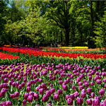 More Tulips thumbnail