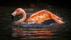 Flamingo Red Splash (Blende1.8) Tags: red rot flamingo bird vogel water wasser splash phoenicopteriformes phoenicopteridae wet nass swimming schwimmen schwimmend flamingos