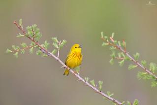 American yellow warbler - Paruline jaune - Setophaga petechia