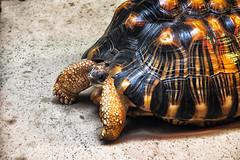 Radiated Tortoise (jn3va) Tags: turtle smithsonian radiatedtortoise washington dc zoo