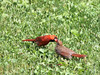 Courtship (Another Dog to Love) Tags: birds cardinal feedingher courtshipfeeding couple