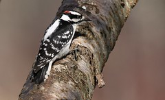 Woodpecker (Diane Marshman) Tags: downy woodpecker male black white face body tail feathers spots small spring northeast pa pennsylvania nature wildlife cherry tree bird
