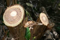 Banana (variety 'Cocos'): Fusarium wilt (Panama disease) (Plant pests and diseases) Tags: banana musa fusarium wilt panama disease oxysporum f sp cubense pseduostem cocos yellowing vascular necrosis