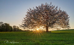 Kirschbaum / Cherry tree (moritzgyssler) Tags: baselland spring nature