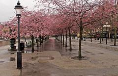 April 29, the cherry blossoms of Kings Garden in Stockholm in the rain (Franz Airiman) Tags: regn rain kungsträdgården kingsgarden park stadspark citypark stockholm sweden scandinavia tree träd körsbär cherry blomma blossom flower körsbärsblomma cherryblossom sakura