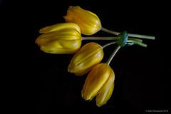 cut short (john dusseault) Tags: tulips stems yellow compost canon facebook flickr flowers gplus