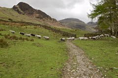 The Flock (TERRY KEARNEY) Tags: mountains mountainside mountain sheep flock fields field pathway path trees tree animals skyline sky cumbria langdalepikes ambleside lambs bowness lakewindermere lakedistrict farmland farm elterwater chapelstile canoneos1dmarkiv daylight day explore europe england flickr kearney landscape nature oneterry outdoor terrykearney wildlife 2018 valley