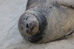 Common Seal - Phoca vitulina - San Diego County, California, USA - April 22, 2018 (mango verde) Tags: commonseal phocavitulina phocidae earlessseals phoca vitulina seal mammal lajolla sandiegocounty california usa mangoverde
