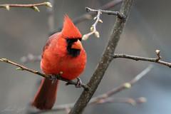 Cardinal rouge // Northern Cardinal (Alexandre Légaré) Tags: cardinalrouge northerncardinal cardinaliscardinalis cardinal rouge red bird oiseau animal wildlife nature nikon d7500 quebec canada