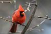 Cardinal rouge // Northern Cardinal (Keztik) Tags: cardinalrouge northerncardinal cardinaliscardinalis cardinal rouge red bird oiseau animal wildlife nature nikon d7500 quebec canada