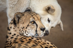 A Kiss From His Girl (Penny Hyde) Tags: bigcat cheetah dog sandiegozoo