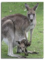 Kangaroo with Joey in Pouch (Bear Dale) Tags: red kangaroo ulladulla south coast new wales australia nikon d850 kangaroos joey pouch bear dale