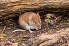 Bank vole D85_2588.jpg (Mobile Lynn) Tags: bankvole vole rodents nature fauna mammal mammals rodent rodentia wildlife