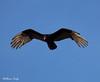 Turkey Vulture (billbigfish) Tags: ngc 80d tamron nature wildlife birdwatcher canon80d turkeyvulture vulture scavenger buzzard turkeybuzzard cathartidae