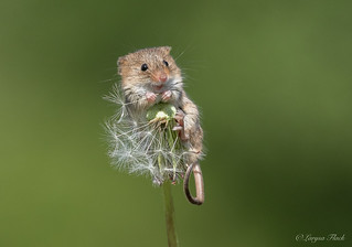 Harvest mice making his wishes