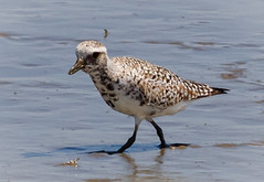 Black-bellied Plover (tresed47) Tags: 2018 201804apr 20180423delawarebirds april birds blackbelliedplover bombayhook canon7d content delaware folder peterscamera petersphotos places plover season shorebirds spring takenby us