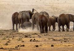 Safari-Tsavo National Park-Kenya (johnfranky_t) Tags: elefanti johnfranky t polvere sabbia savana safari tsavo national park kenya sterco uccelli birds dust sand animal mammal elephants