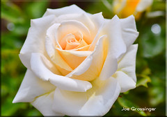 White and creamy (jgbirdmangrossinger) Tags: hibred tea rose white cream green bokeh