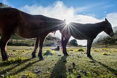 Pack animals in Chebisa at sunrise - Thimphu District - Snowman Trek - Bhutan (PascalBo) Tags: nikon d500 asie asia southasia asiedusud drukyul drukgyalkhap bhutan bhoutan འབྲུག་ཡུལ། འབྲུག་རྒྱལ་ཁབ་ snowman trek trekking hike hiking lunana thimphu himalaya himalayas jigmedorjinationalpark chebisa horse mule sunrise leverdesoleil outdoor outdoors pascalboegli