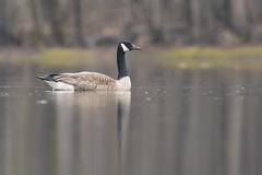 Canada goose / Bernache du Canada (Branta canadensis) (Jean-Maxime Pelletier) Tags: canadagoose bernacheducanada brantacanadensis bird goose spring rain